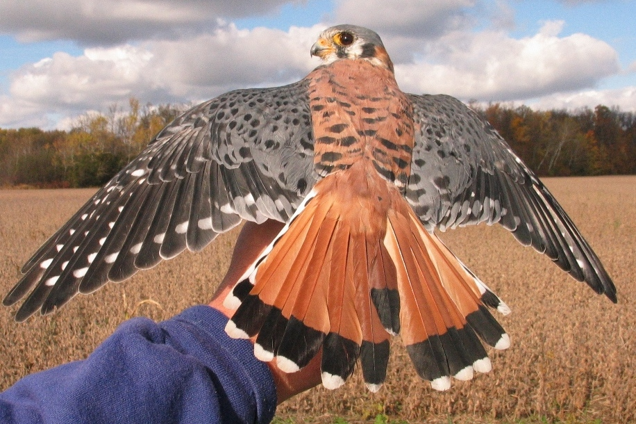 Banded Red-tailed Hawk