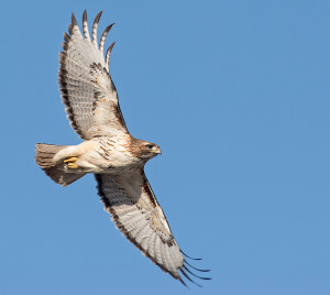 Red-tailed Hawk soar (ZS)