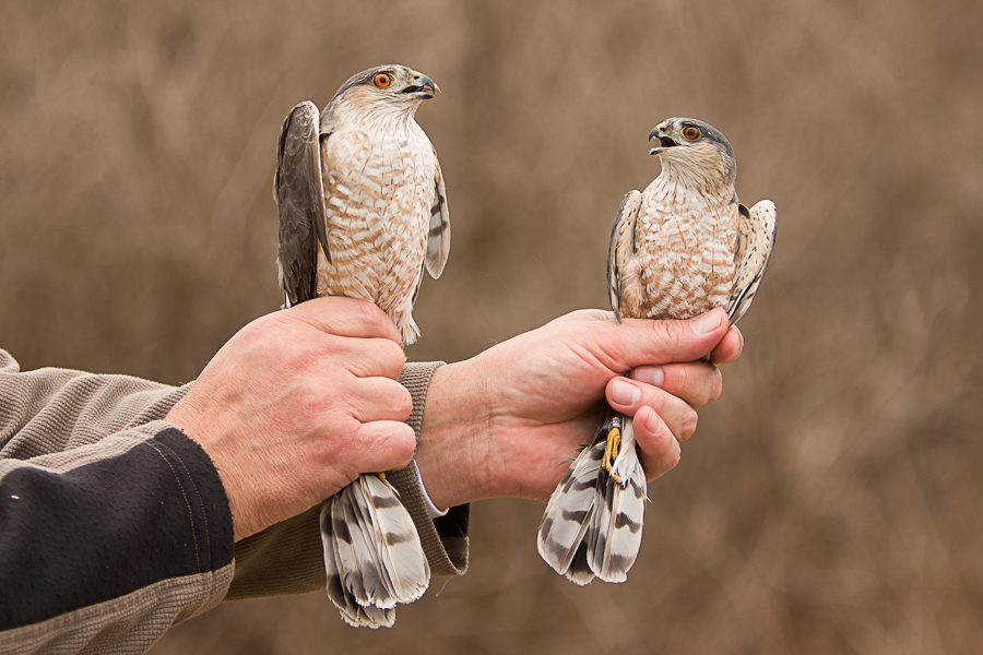 Featured Species: Sharp-shinned Hawk