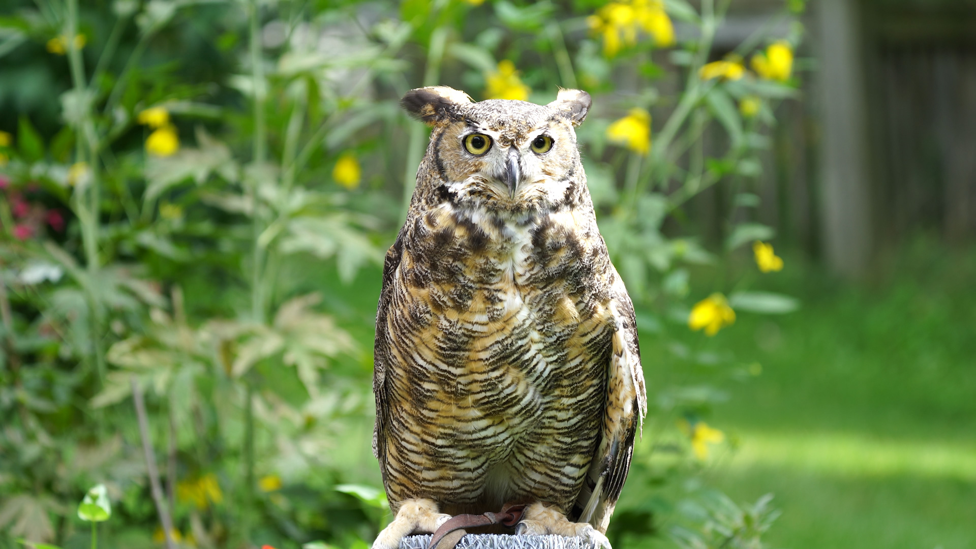Great Horned Owl Thumbnail-1080